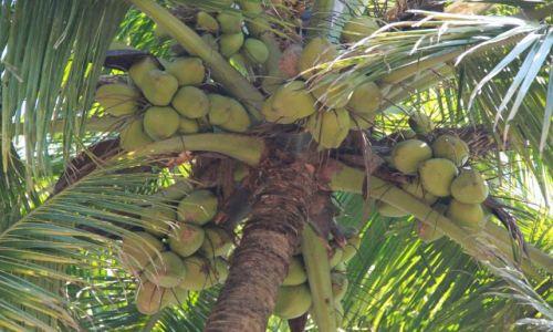 Zdjecie INDIE / Kerala / Verkala / kokosy