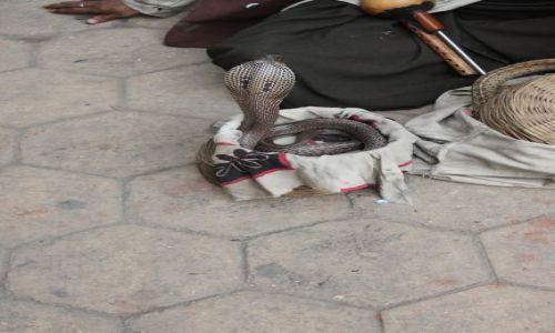 Zdjecie INDIE / Delhi / New Delhi / kobra