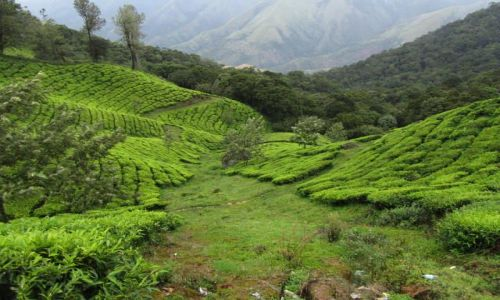 Zdjecie INDIE / Kerala / Munnar / Munnar-herbaciane dywany....