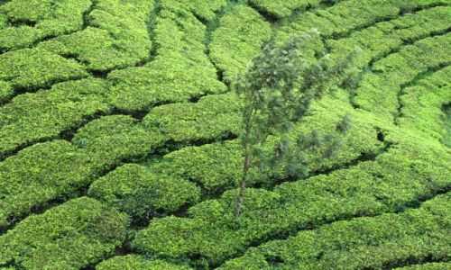 Zdjecie INDIE / Kerala / Munnar / Munnar-herbatka