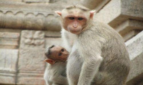 Zdjecie INDIE / Karnataka / Hampi / Hampi- małpki na Gopuramie