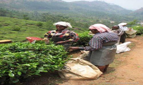 Zdjecie INDIE / Kerala / Munnar / Na plantacji herbaty