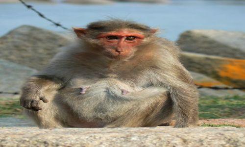 Zdjęcie INDIE / - / Hampi / Małpa w Hampi