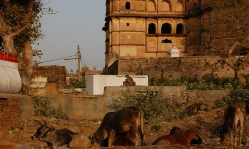 INDIE / Uttar Pradesh / Orchha / Święte krowy