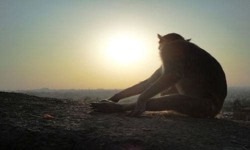 Zdjecie INDIE / - / Jaipur / małpi zachód