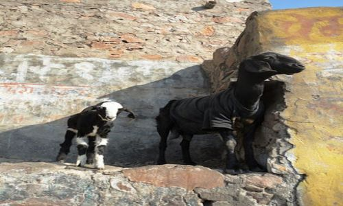 Zdjecie INDIE / - / Jaipur / koza w t-shircie