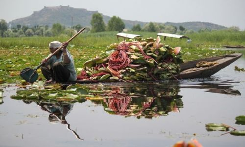 Zdjecie INDIE / Kaszmir / Srinagar / Plantacja lotosow