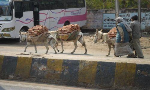 INDIE / Uttar Pradesh / Agra / Pracowite osiołki