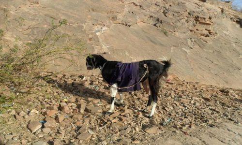 INDIE / Radżastan / Jaipur / Pruderyjna koza w staniku