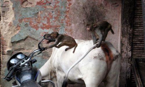 Zdjecie INDIE / Indie / Jaipur / Monkeys