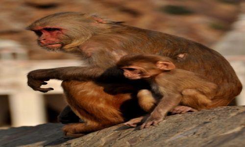 Zdjecie INDIE / wioska Ghalta / Indie / W świątyni małp