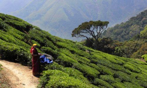 Zdjecie INDIE / Kerala / okolice Munnar / Na plantacji herbaty