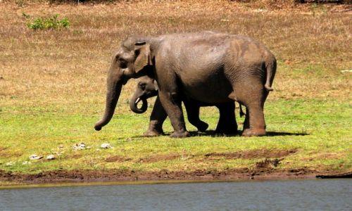 Zdjecie INDIE / Kerala / Thakkady, Peryiar Wildlife Reserve / Z maluchem przy wodopoju