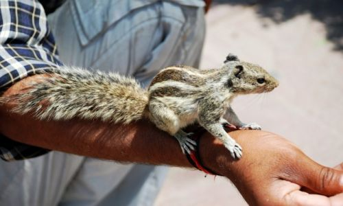 Zdjęcie INDIE / Uttar Pradesh / Agra / Hinduska wiewióra ;)