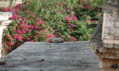 INDIE /  Uttar Pradesh / Agra / Iskające się małpki na dachu budynku w Agrze