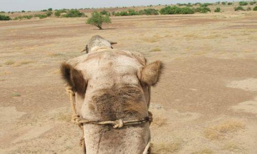 INDIE / Radjastan / Jaisalmer / Pustynia Thar z punktu widzenia wielbłąda