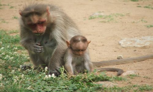 INDIE / Karnataka / Hampi / Małpia rodzinka
