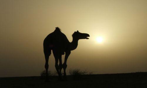 Zdjęcie INDIE / Radjastan / Pustynia Thar / Romantyczny wielbłąd