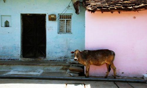 Zdjecie INDIE / Madhya Pradesh / Khajuraho / Krówka na starym mieście w Khajuraho