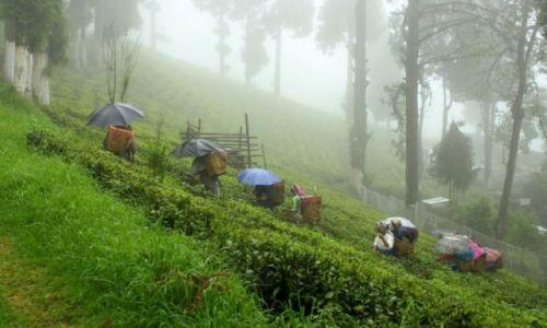 Zdjecie INDIE / Darjeeling / Darjeeling / KONKURS Plantacja herbaty