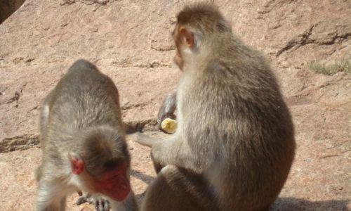 Zdjecie INDIE / Karnataka / Hampi / Małpy złodziejki:)