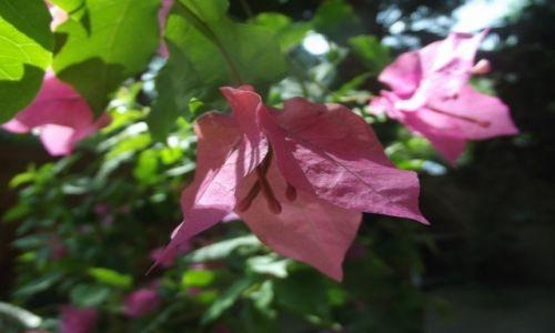 Zdjecie INDIE / Goa / Palolem / Goański kwiat