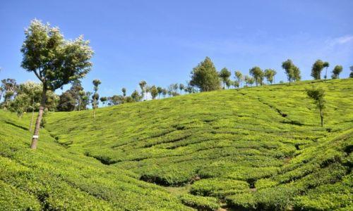 Zdjęcie INDIE / Kerala / Munnar / Moonnar / Herbaciane pole