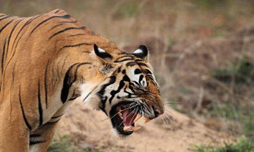 Zdjęcie INDIE / - / Park Bandhavgar / Powitanie intruzów