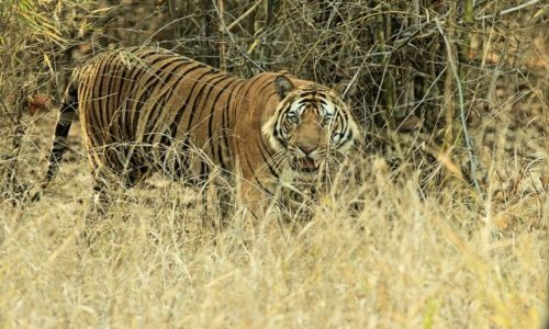 Zdjęcie INDIE / - / Park Bandhavgar / I zobaczył nas
