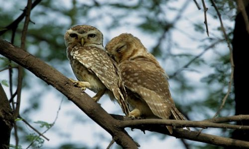 Zdjecie INDIE / - / Park Narodowy Keoladeo / Czy to jest miłość ,czy to jest kochanie...?