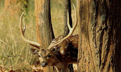 Zdjecie INDIE / - / Park Bandhavgar / Jelonek Axis-główne danie w menu tygrysa