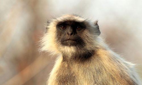 Zdjęcie INDIE / - / Park Narodowy Satpura / portret langura