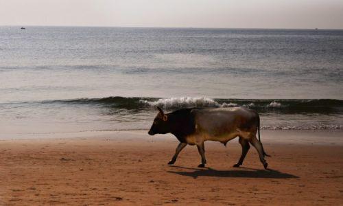 Zdjecie INDIE / Goa / Calangute / Plażowa krowa