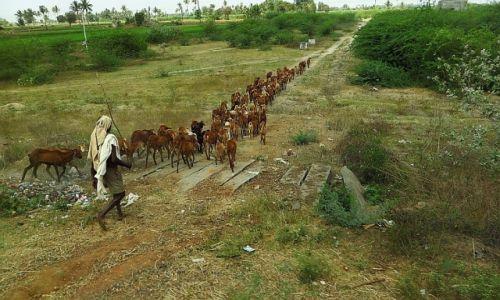 Zdjęcie INDIE / Tamil Nadu / Tiruvannamalaj - Pondicherry / pasterz