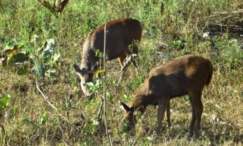 Zdjęcie INDIE / Karnataka / P.N. Bandipur / zwierzęta Indii -  Sambor