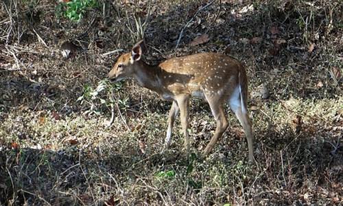 Zdjecie INDIE / Karnataka / P.N. Bandipur / zwierzęta Indii -  Aksis