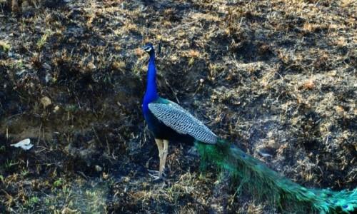 Zdjęcie INDIE / Karnataka / P.N. Bandipur / zwierzęta Indii -  dziki paw