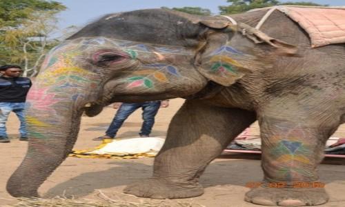 Zdjecie INDIE / Radzastan / Jaipur / Jaipur elephant