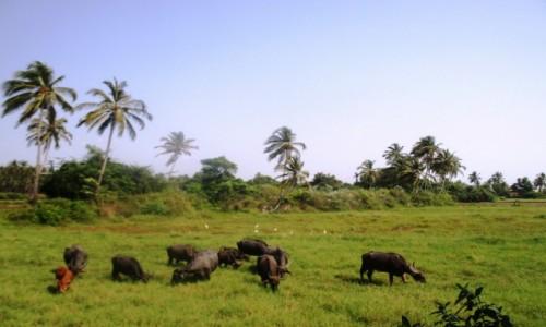 Zdjecie INDIE / Kerala / Alleppey  / Indyskie bawo�y
