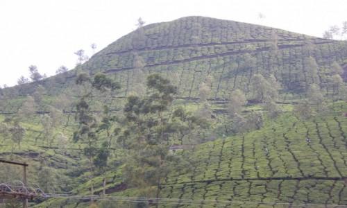 Zdjecie INDIE / Kerala / Munnar / Indie Po�udniow