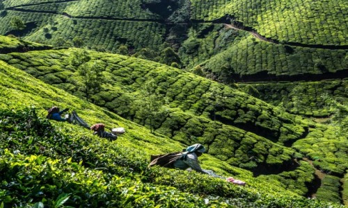 Zdjecie INDIE / Kerala / Munnar / plantacje herba