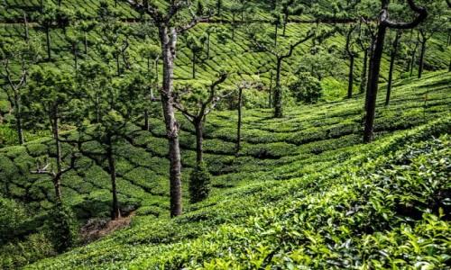 Zdjecie INDIE / Kerala / Munnar / plantacje herbaty