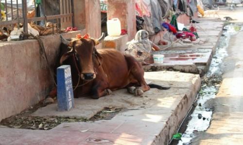 Zdjęcie INDIE / Madhya Pradesh / Bhopal / buffalo