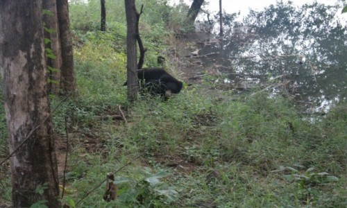 INDIE / Madhya Pradesh / Satpura / Niedźwiedź brunatny