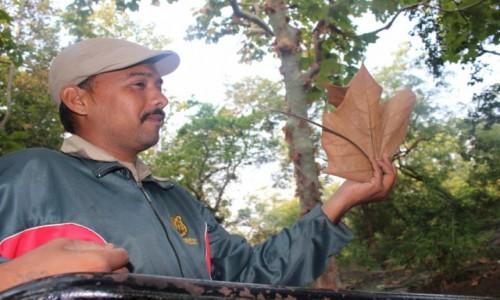 Zdjecie INDIE / Madhya Pradesh / Satpura / Liść z drzewa zatwar (sterculia urens)