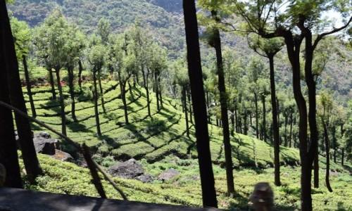 Zdjecie INDIE / Tamilnadu / Tamilnadu / Herbata
