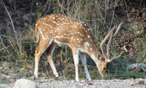 Zdjecie INDIE / Uttarakhand / Park Narodowy Radzadzi Rasztrij Udjan / Czytal (jeleń)