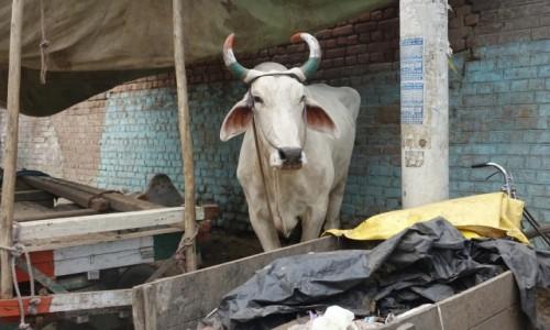 INDIE / Delhi / Delhi / Kolor  kraju na rogach