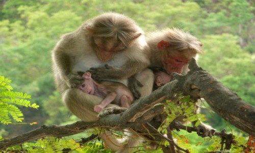 Zdjęcie INDIE / Tamil Nadu / Kodaikanal / Makak indyjski rodzinnie ;)