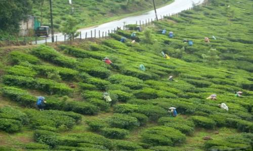 INDIE / Kerala / Patkanamthitta ? / zbiory herbaty